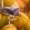 Gudobelinė skydblakė - Acanthosoma haemorrhoidale | Fotografijos autorius : Žilvinas Pūtys | © Macrogamta.lt | Šis tinklapis priklauso bendruomenei kuri domisi makro fotografija ir fotografuoja gyvąjį makro pasaulį.