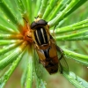 Žiedmusė - Helophilus hybridus | Fotografijos autorius : Vitalii Alekseev | © Macrogamta.lt | Šis tinklapis priklauso bendruomenei kuri domisi makro fotografija ir fotografuoja gyvąjį makro pasaulį.