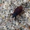 Storakojė dirvablakė  - Gastrodes grossipes | Fotografijos autorius : Vitalii Alekseev | © Macrogamta.lt | Šis tinklapis priklauso bendruomenei kuri domisi makro fotografija ir fotografuoja gyvąjį makro pasaulį.