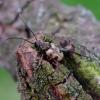 Išvartinis vėtrasekis - Pachytodes cerambyciformis | Fotografijos autorius : Romas Ferenca | © Macrogamta.lt | Šis tinklapis priklauso bendruomenei kuri domisi makro fotografija ir fotografuoja gyvąjį makro pasaulį.