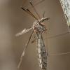 Ilgakojis uodas - Tipula lateralis ♀   Fotografijos autorius : Žilvinas Pūtys   © Macrogamta.lt   Šis tinklapis priklauso bendruomenei kuri domisi makro fotografija ir fotografuoja gyvąjį makro pasaulį.