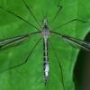 Ilgakojis uodas - Tipula lateralis   Fotografijos autorius : Gintautas Steiblys   © Macrogamta.lt   Šis tinklapis priklauso bendruomenei kuri domisi makro fotografija ir fotografuoja gyvąjį makro pasaulį.