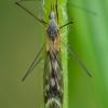 Ilgakojis uodas - Tipula winthemi ♂ | Fotografijos autorius : Žilvinas Pūtys | © Macrogamta.lt | Šis tinklapis priklauso bendruomenei kuri domisi makro fotografija ir fotografuoja gyvąjį makro pasaulį.