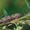 Ilgakojis uodas - Tipula scripta | Fotografijos autorius : Gintautas Steiblys | © Macrogamta.lt | Šis tinklapis priklauso bendruomenei kuri domisi makro fotografija ir fotografuoja gyvąjį makro pasaulį.