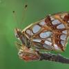 Issoria lathonia   Fotografijos autorius : Armen Seropian   © Macrogamta.lt   Šis tinklapis priklauso bendruomenei kuri domisi makro fotografija ir fotografuoja gyvąjį makro pasaulį.