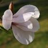 Japoninė magnolija - Magnolia kobus | Fotografijos autorius : Gintautas Steiblys | © Macrogamta.lt | Šis tinklapis priklauso bendruomenei kuri domisi makro fotografija ir fotografuoja gyvąjį makro pasaulį.