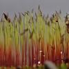Jautrusis perkūnrugis - Funaria hygrometrica   Fotografijos autorius : Kęstutis Obelevičius   © Macrogamta.lt   Šis tinklapis priklauso bendruomenei kuri domisi makro fotografija ir fotografuoja gyvąjį makro pasaulį.