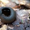 Krateriškasis taurūnis - Urnula craterium | Fotografijos autorius : Arūnas Eismantas | © Macrogamta.lt | Šis tinklapis priklauso bendruomenei kuri domisi makro fotografija ir fotografuoja gyvąjį makro pasaulį.