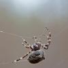 Kauburiuotasis kryžiuotis - Araneus angulatus | Fotografijos autorius : Zita Gasiūnaitė | © Macrogamta.lt | Šis tinklapis priklauso bendruomenei kuri domisi makro fotografija ir fotografuoja gyvąjį makro pasaulį.