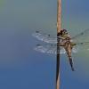 Keturdėmė skėtė - Libellula quadrimaculata | Fotografijos autorius : Zita Gasiūnaitė | © Macrogamta.lt | Šis tinklapis priklauso bendruomenei kuri domisi makro fotografija ir fotografuoja gyvąjį makro pasaulį.