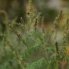 Kietinė ambrozija - Ambrosia artemisiifolia   Fotografijos autorius : Kęstutis Obelevičius   © Macrogamta.lt   Šis tinklapis priklauso bendruomenei kuri domisi makro fotografija ir fotografuoja gyvąjį makro pasaulį.