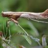 Klevinė gelsvadėmė kaloptilija - Caloptilia hemidactylella   Fotografijos autorius : Žilvinas Pūtys   © Macrogamta.lt   Šis tinklapis priklauso bendruomenei kuri domisi makro fotografija ir fotografuoja gyvąjį makro pasaulį.