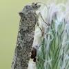 Knefazija - Cnephasia sp. | Fotografijos autorius : Gintautas Steiblys | © Macrogamta.lt | Šis tinklapis priklauso bendruomenei kuri domisi makro fotografija ir fotografuoja gyvąjį makro pasaulį.