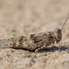 Kopinis tarkšlys - Sphingonotus caerulans | Fotografijos autorius : Zita Gasiūnaitė | © Macrogamta.lt | Šis tinklapis priklauso bendruomenei kuri domisi makro fotografija ir fotografuoja gyvąjį makro pasaulį.