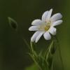 Krūmokšninė žliūgė – Stellaria holostea | Fotografijos autorius : Agnė Našlėnienė | © Macrogamta.lt | Šis tinklapis priklauso bendruomenei kuri domisi makro fotografija ir fotografuoja gyvąjį makro pasaulį.
