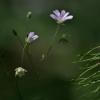 Krūmokšninė žliūgė - Stellaria holostea | Fotografijos autorius : Kęstutis Obelevičius | © Macrogamta.lt | Šis tinklapis priklauso bendruomenei kuri domisi makro fotografija ir fotografuoja gyvąjį makro pasaulį.