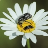 Kvapusis auksavabalis - Oxythyrea funesta | Fotografijos autorius : Vidas Brazauskas | © Macrogamta.lt | Šis tinklapis priklauso bendruomenei kuri domisi makro fotografija ir fotografuoja gyvąjį makro pasaulį.