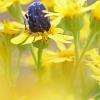 Kvapusis auksavabalis - Oxythyrea funesta   Fotografijos autorius : Agnė Našlėnienė   © Macrogamta.lt   Šis tinklapis priklauso bendruomenei kuri domisi makro fotografija ir fotografuoja gyvąjį makro pasaulį.