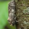 Kvapusis/Gluosninis medgręžis - Cossus cossus | Fotografijos autorius : Žilvinas Pūtys | © Macrogamta.lt | Šis tinklapis priklauso bendruomenei kuri domisi makro fotografija ir fotografuoja gyvąjį makro pasaulį.