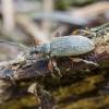 Lapinukas - Phyllobius glaucus   Fotografijos autorius : Kazimieras Martinaitis   © Macrogamta.lt   Šis tinklapis priklauso bendruomenei kuri domisi makro fotografija ir fotografuoja gyvąjį makro pasaulį.