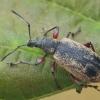 Lapinukas - Phyllobius glaucus   Fotografijos autorius : Gintautas Steiblys   © Macrogamta.lt   Šis tinklapis priklauso bendruomenei kuri domisi makro fotografija ir fotografuoja gyvąjį makro pasaulį.