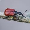 Lazdyninis cigarsukis - Apoderus coryli | Fotografijos autorius : Kazimieras Martinaitis | © Macrogamta.lt | Šis tinklapis priklauso bendruomenei kuri domisi makro fotografija ir fotografuoja gyvąjį makro pasaulį.