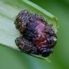 Lelijinis čiuželis - Lilioceris lilii (lerva) | Fotografijos autorius : Romas Ferenca | © Macrogamta.lt | Šis tinklapis priklauso bendruomenei kuri domisi makro fotografija ir fotografuoja gyvąjį makro pasaulį.