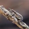 Lubininis sitonas - Sitona griseus | Fotografijos autorius : Kazimieras Martinaitis | © Macrogamta.lt | Šis tinklapis priklauso bendruomenei kuri domisi makro fotografija ir fotografuoja gyvąjį makro pasaulį.
