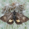 Panemeria tenebrata - Mažasis žliūginukas | Fotografijos autorius : Arūnas Eismantas | © Macrogamta.lt | Šis tinklapis priklauso bendruomenei kuri domisi makro fotografija ir fotografuoja gyvąjį makro pasaulį.