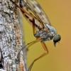 Slankmusė - Rhagio scolopaceus | Fotografijos autorius : Arūnas Eismantas | © Macrogamta.lt | Šis tinklapis priklauso bendruomenei kuri domisi makro fotografija ir fotografuoja gyvąjį makro pasaulį.