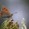 Mažasis auksinukas - Lycaena phlaeas | Fotografijos autorius : Agnė Našlėnienė | © Macrogamta.lt | Šis tinklapis priklauso bendruomenei kuri domisi makro fotografija ir fotografuoja gyvąjį makro pasaulį.