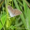 Pilkasis melsvys (Polyommatus semiargus) | Fotografijos autorius : Aleksandras Naryškin | © Macrogamta.lt | Šis tinklapis priklauso bendruomenei kuri domisi makro fotografija ir fotografuoja gyvąjį makro pasaulį.