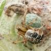 Margasis kilpininkas - Phylloneta sisyphis | Fotografijos autorius : Gintautas Steiblys | © Macrogamta.lt | Šis tinklapis priklauso bendruomenei kuri domisi makro fotografija ir fotografuoja gyvąjį makro pasaulį.