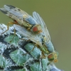 Margasparnės - Terellia colon | Fotografijos autorius : Gintautas Steiblys | © Macrogamta.lt | Šis tinklapis priklauso bendruomenei kuri domisi makro fotografija ir fotografuoja gyvąjį makro pasaulį.