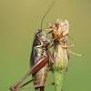 Metrioptera roeselii - Paprastasis spragtukas | Fotografijos autorius : Agnė Našlėnienė | © Macrogamta.lt | Šis tinklapis priklauso bendruomenei kuri domisi makro fotografija ir fotografuoja gyvąjį makro pasaulį.