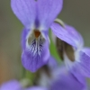 Našlaitė pašepėlė - Viola hirta | Fotografijos autorius : Agnė Našlėnienė | © Macrogamta.lt | Šis tinklapis priklauso bendruomenei kuri domisi makro fotografija ir fotografuoja gyvąjį makro pasaulį.
