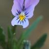 Pajūrinė našlaitė - Viola littoralis | Fotografijos autorius : Gintautas Steiblys | © Macrogamta.lt | Šis tinklapis priklauso bendruomenei kuri domisi makro fotografija ir fotografuoja gyvąjį makro pasaulį.