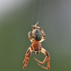 Nendrinis žnypliavoris - Larinioides cornutus | Fotografijos autorius : Agnė Našlėnienė | © Macrogamta.lt | Šis tinklapis priklauso bendruomenei kuri domisi makro fotografija ir fotografuoja gyvąjį makro pasaulį.