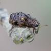 Netikrastraublis - Dissoleucas niveirostris | Fotografijos autorius : Romas Ferenca | © Macrogamta.lt | Šis tinklapis priklauso bendruomenei kuri domisi makro fotografija ir fotografuoja gyvąjį makro pasaulį.