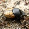 Mėšlagraužis - Onthophagus gibbulus (Pallas, 1781) | Fotografijos autorius : Vitalii Alekseev | © Macrogamta.lt | Šis tinklapis priklauso bendruomenei kuri domisi makro fotografija ir fotografuoja gyvąjį makro pasaulį.