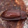 Pūzrinis skydvabalis - Ostoma ferruginea | Fotografijos autorius : Žilvinas Pūtys | © Macrogamta.lt | Šis tinklapis priklauso bendruomenei kuri domisi makro fotografija ir fotografuoja gyvąjį makro pasaulį.