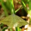 Papartinis sprindžius - Petrophora chlorasata   Fotografijos autorius : Ramunė Vakarė   © Macrogamta.lt   Šis tinklapis priklauso bendruomenei kuri domisi makro fotografija ir fotografuoja gyvąjį makro pasaulį.