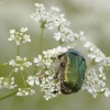 Paprastasis auksavabalis - Cetonia aurata   Fotografijos autorius : Vidas Brazauskas   © Macrogamta.lt   Šis tinklapis priklauso bendruomenei kuri domisi makro fotografija ir fotografuoja gyvąjį makro pasaulį.