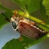 Paprastasis grambuolys - Melolontha melolontha | Fotografijos autorius : Žilvinas Pūtys | © Macrogamta.lt | Šis tinklapis priklauso bendruomenei kuri domisi makro fotografija ir fotografuoja gyvąjį makro pasaulį.
