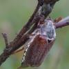 Paprastasis grambuolys - Melolontha melolontha | Fotografijos autorius : Romas Ferenca | © Macrogamta.lt | Šis tinklapis priklauso bendruomenei kuri domisi makro fotografija ir fotografuoja gyvąjį makro pasaulį.