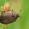 Paprastasis kamuolvabalis - Byrrhus pilula   Fotografijos autorius : Vidas Brazauskas   © Macrogamta.lt   Šis tinklapis priklauso bendruomenei kuri domisi makro fotografija ir fotografuoja gyvąjį makro pasaulį.