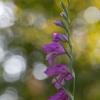 Paprastasis kardelis - Gladiolus imbricatus | Fotografijos autorius : Zita Gasiūnaitė | © Macrogamta.lt | Šis tinklapis priklauso bendruomenei kuri domisi makro fotografija ir fotografuoja gyvąjį makro pasaulį.