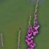 Paprastasis kardelis - Gladiolus imbricatus | Fotografijos autorius : Kęstutis Obelevičius | © Macrogamta.lt | Šis tinklapis priklauso bendruomenei kuri domisi makro fotografija ir fotografuoja gyvąjį makro pasaulį.