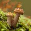 Paprastasis kelmutis - Armillaria mellea | Fotografijos autorius : Žilvinas Pūtys | © Macrogamta.lt | Šis tinklapis priklauso bendruomenei kuri domisi makro fotografija ir fotografuoja gyvąjį makro pasaulį.