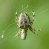 Paprastasis kryžiuotis - Araneus diadematus | Fotografijos autorius : Vidas Brazauskas | © Macrogamta.lt | Šis tinklapis priklauso bendruomenei kuri domisi makro fotografija ir fotografuoja gyvąjį makro pasaulį.